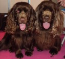 Sussex spaniels