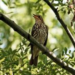 600px-Song_Thrush_(Turdus_philomelos)_singing_in_tree