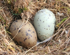 Herring_gull_eggs