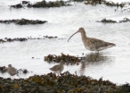 Curlew_and_Redshank_-_geograph.org.uk_-_713429