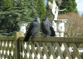 Jackdaws,_Powerscourt_Gardens_-_geograph.org.uk_-_628605