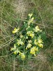 cowslips 6.5.16
