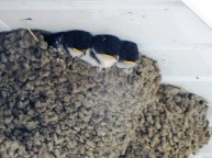 House_Martin_chicks